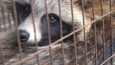 A raccoondog in a cage at a fur farm in China in Dec 2015.