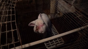 Footage from inside the Gippsland rabbit farm which has been supplied to Agriculture Victoria.