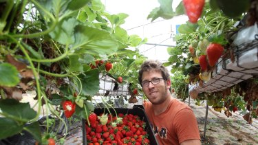 Strawberry grower Asaf Bar-Shalom's business produces about 40 tonnes of strawberries a year.