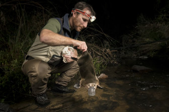 Ecologist Josh Griffiths checks on a platypus at Healsville.