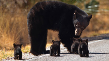 Pair killed a bear and cubs and tried to cover it up, but a GPS collar thwarted them
