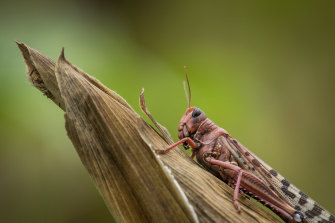 A desert locust sits on a maize plant at a farm in Katitika village, Kitui county, Kenya Friday.