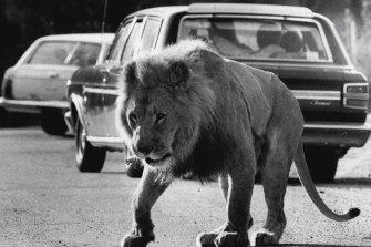 African Lion Safari in 1984.
