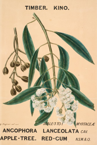 "Botanical drawing ""Angophora lanceolata (AppleTree. Red-Gum)"", by Agard Hagman, Sydney, 1887."