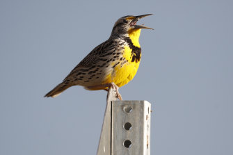 A western meadowlark in the Rocky Mountain Arsenal National Wildlife Refuge in Commerce City, Colorado.