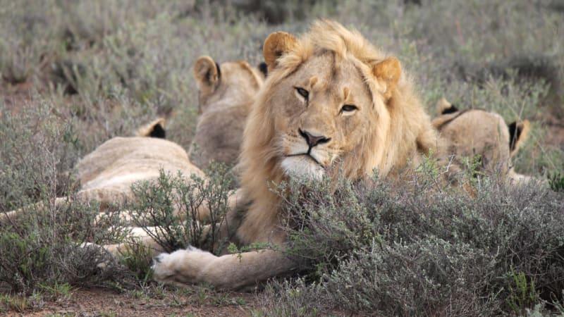Rhino poachers eaten by lions in South Africa