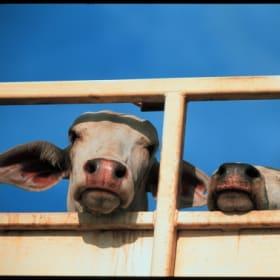 There are calls to ban cattle being shipped across Bass Strait following the deaths of 59 animals