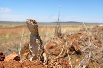 The Roma Earless Dragon, found in the region around Roma in Queensland, was named by Dr Jane Melville in 2014, and has recently been listed as endangered.