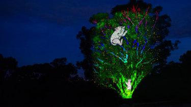 Koalas projected onto trees at the National Botanic Gardens for the Enlighten Festival.