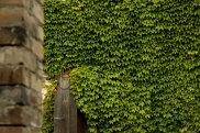 A Virginia Creeper (<i>Parthenocissus quinquefolia</i>) in a Sydney garden.