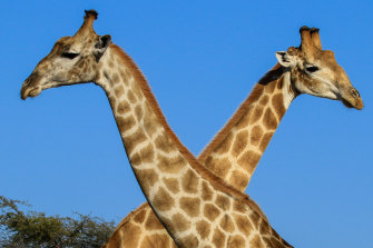 Giraffes at the Hwange National Park in Zimbabwe.