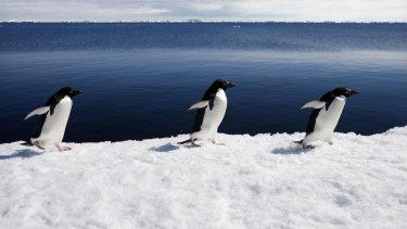 Adélie penguins marching in step.