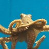 Octopus dreams more like gifs than visions: scientist