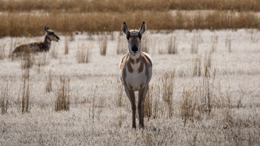 Pronghorn antelope in Yellowstone National Park, where winters are getting shorter and warmer.
