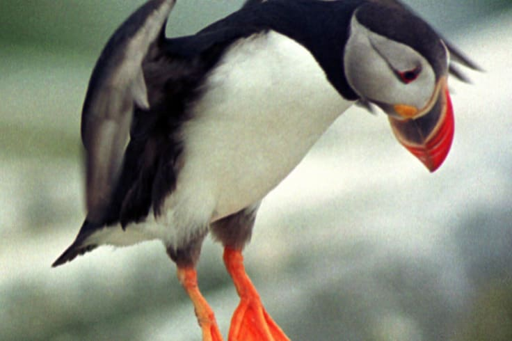 An Atlantic puffin comes in for a landing on Machias Seal Island.