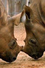 More than 1000 rhinos were killed in South Africa last year.