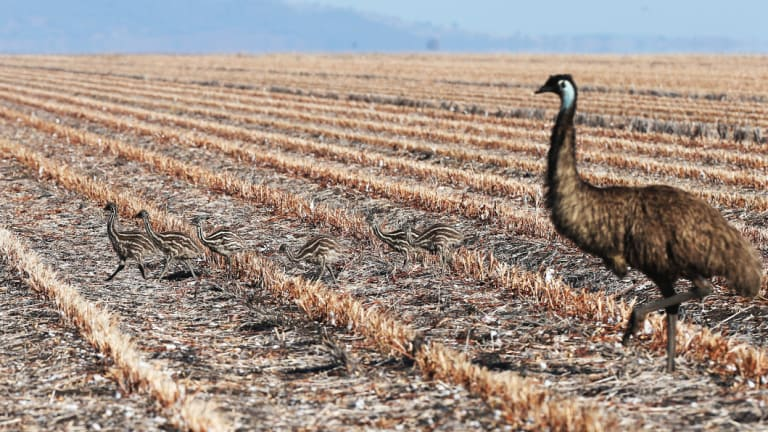 An emu hen and chicks in drought-stricken northern NSW.