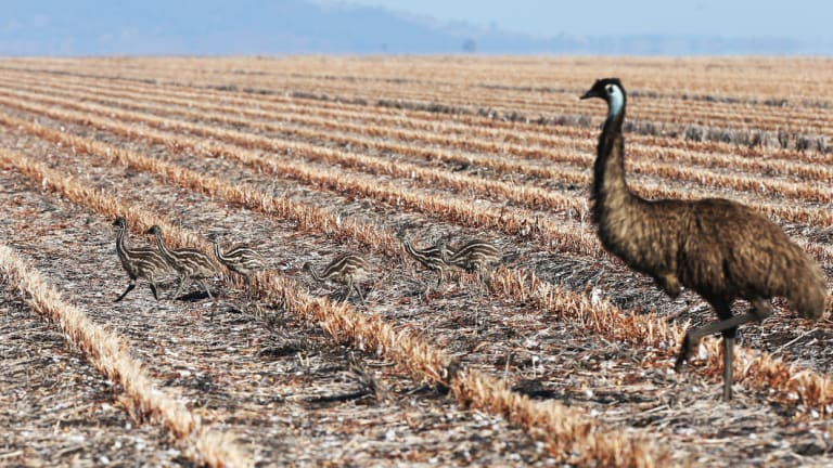 An emu hen and her chicks on the drought-stricken Liverpool Plains in northern NSW.