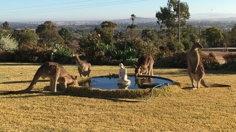 Thirsty kangaroos gather for a drink at a residential fountain in Gunnedah as the drought's grip tightens.