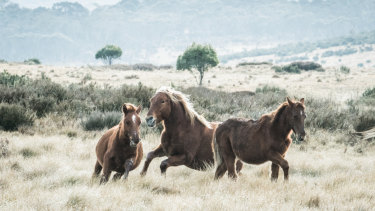 Brumbies that wander into the ACT will not enjoy the same protection from lethal culling that they have been afforded in Kosciuszko National Park.