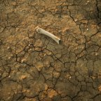 A bone on cracked earth at a property near Walgett, NSW, which has been affected by years of drought.
