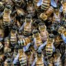 Too many bees see tram stop shut in Melbourne's north