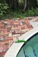 An iguana lies near a pool after falling from a tree in Florida in 2018.
