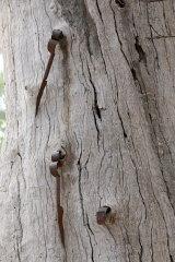 The shears embedded in a tree near Hay.