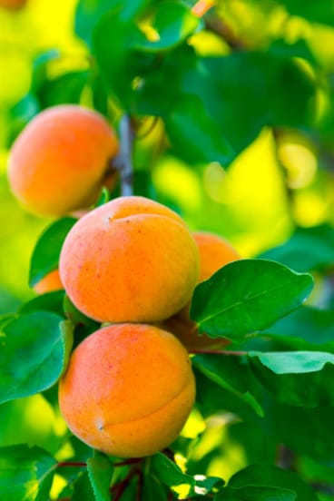 Ripe apricots are a seasonal joy.