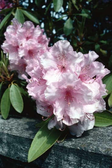 Rhododendrons are deeply dull for most of the year but all is forgiven when they bloom.