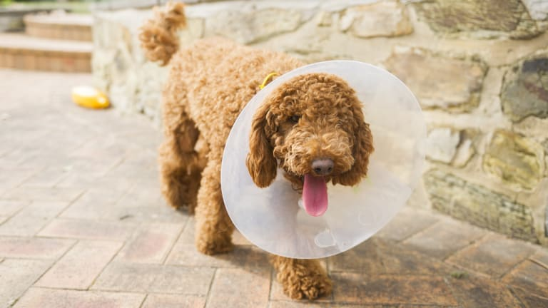 One-year-old Cavoodle received injuries to his hind left leg but the treating vet said it was only the intervention of his owner that saved him from a worse fate.