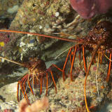 WA rock lobster industry cries foul on 'never before seen' intervention