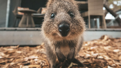 Authorities remain tight-lipped about quokka's birthday cost to WA taxpayers