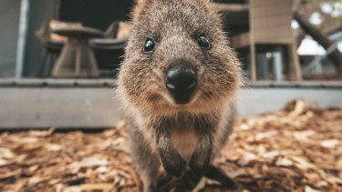 The quokka is set to have its inaugural birthday celebration on Sunday.