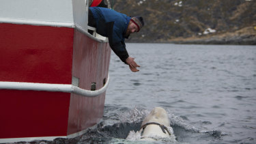 Joar Hesten tries to attract the whale swimming next to his boat before fishermen were able to remove the tight harness.