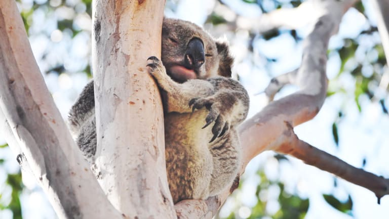 Koalas in Sydney's south-west are under threat from rising population in the region. This marsupial was photographed in St Helens Park.