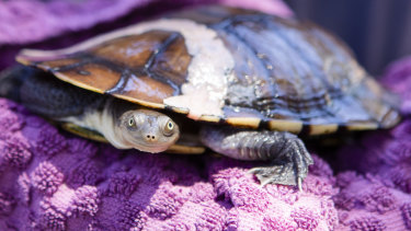 A turtle taken to the shelter.