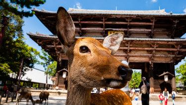 A sika deer waiting to be fed at Tōdai-ji temple in Nara, Japan.