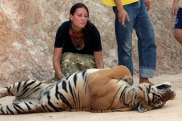 epa01430424 Tourists enjoy having their picture taken with tigers Sai Yok village Tiger Temple, Thailand,  29 July 2008. After poachers had killed its mother, villagers brought the first tiger cub in 1999 to Wat Pa Luangta Bua Yannasampanno Monastery. Since then Abbot Chan created a wildlife sanctuary where tourists can touch resting tigers. About 40 carnivores; 150 kg of razor-sharp teeth, claws and muscle each, designed by nature to kill, have been hand-raised from early age by the monk to control their aggressive behavior. Tourist can attend at short distance, without barriers, the tigers' morning program; exercise hunting skills in the pool. Monk Chan says there is no secret about their calm behavior with humans. After 4 hours of swimming and a good meal of boiled chicken, the nocturnal animals want to sleep through the heat of the day. It is a great tourist spot but also a potential death trap. Many visitors believe that by touching the tigers they will gain strength and cure a disease. Till today all went well.  EPA/OLIVIER MATTHYS Tiger Temple in Thailand