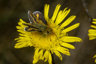 A Skipper butterfly rests on a Podolepis jaceoides (Showy Copper-wire daisy) at the site.