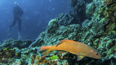 A diver swims among fish and coral on Flynn Reef off Cairns.