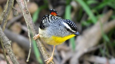 The Spotted Pardalote is one species seen near Merri Creek.
