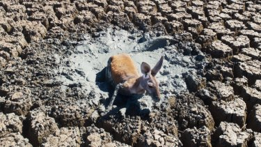 The droneshot accompanied a report on the effects of extreme heat and continuing drought on wildlife, following on from the horrific mass fish kill on the Darling River
