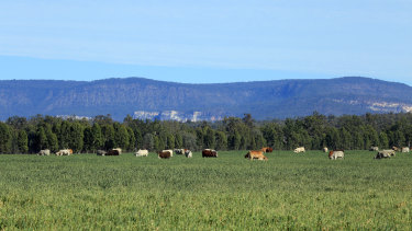 Cattle grazing on oats at Rural Funds Group's Rewan property in Central Queensland.