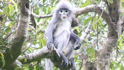 Newly identified species of monkey already facing extinction
