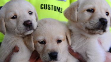 The lure of a new puppy pet was used to steal $2 million from Australians during the COVID lockdown. (File image)