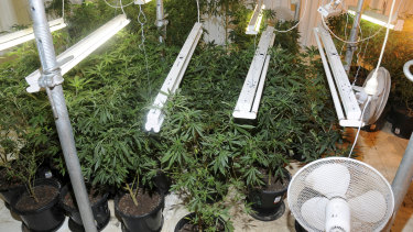 The hydroponic cannabis set-up at the property.