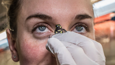 Conservation wildlife officer Rachael Loneragan is working on a breeding program for the endangered Northern Corroboree frog.