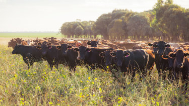 Cattle roams AACo's Westholme station.