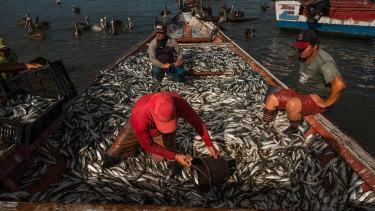 Sardine fishermen unload the catch of the day in Guaca, Venezuela.